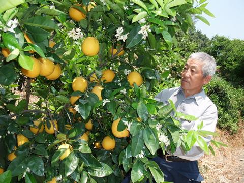 河内晩柑(             宇和ゴールド):満開の花と同居、樹上完熟中の晩柑