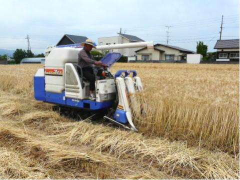 裸麦(品種:             マンネンボシ)の収穫(愛媛県伊予郡松前町)