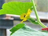 雌花で受粉しているミツバチ