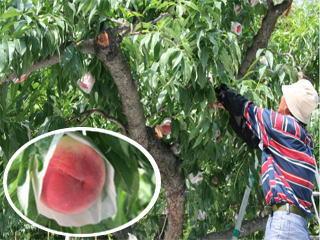 桃(あかつき)の収穫最盛期