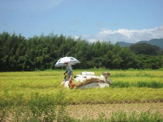 早期水稲の収穫