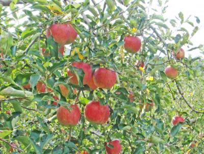 みのったリンゴ