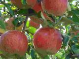 みのったりんご