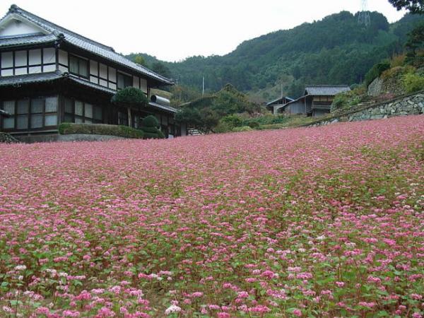 赤そばの花畑