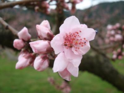 桃の開花始まる