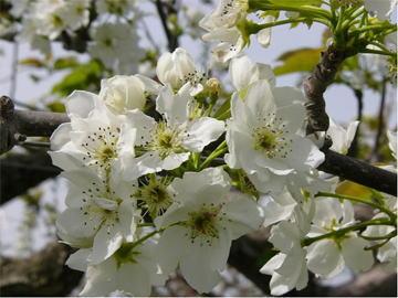 梨の花開花