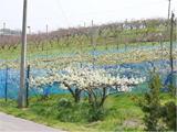 梨園と桃畑を望む