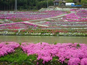 芝桜が満開【撮影:5月7日】(広島県東広島市)その1