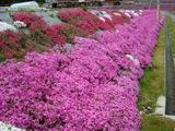 芝桜が満開【撮影:5月7日】(広島県東広島市)その2