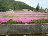 芝桜が満開【撮影:5月7日】(広島県東広島市)その3