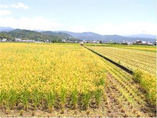 早期栽培米の収穫始まる(ほ場)
