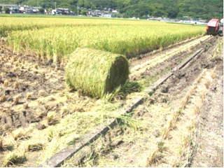 WCS稲の収穫が始まる(刈り取り後の稲)