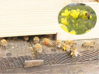 花粉を足に付けて巣に帰った働き蜂