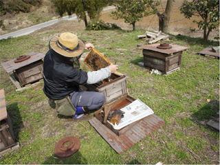 巣を確認する養蜂家