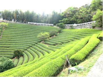 二ノ宮地区の茶園