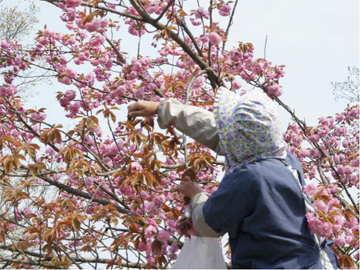 桜花収穫-手際よく花を摘む