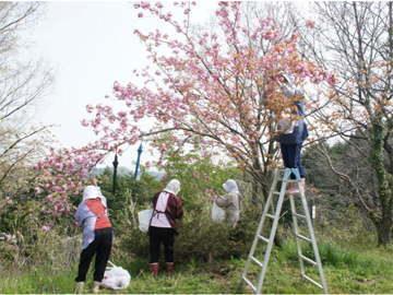 桜花収穫-作業の様子