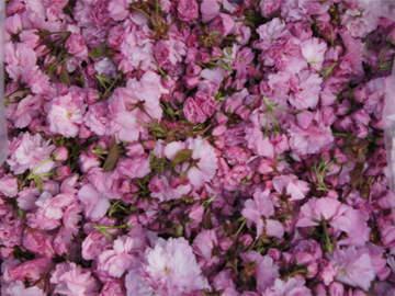 桜花収穫-収穫した桜花