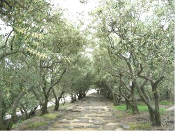 オリーブの花が満開満開の小径