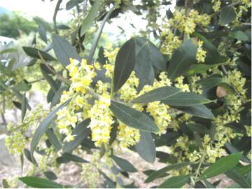 オリーブの花が満開満開のオリーブ
