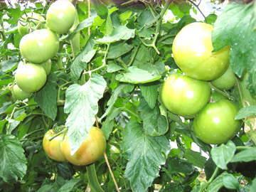 トマトが品質良好で高評価 収穫間近なトマト