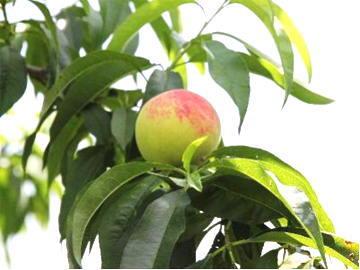 桃の便り-萩市小川地区で栽培されている桃