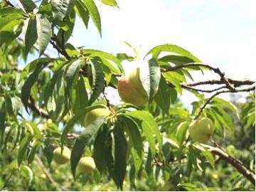 桃の便り-主力品種「あかつき」