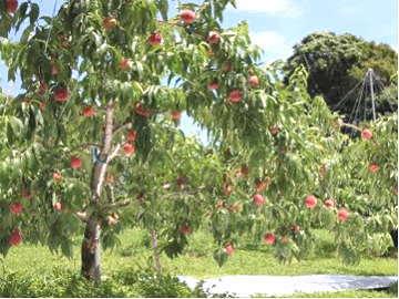 桃の便り-収穫間近の早生種