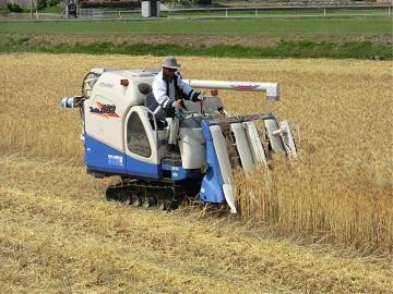 裸麦の収穫の様子