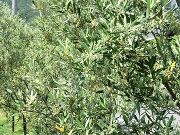 オリーブの木の様子