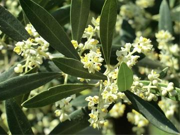 オリーブの開花