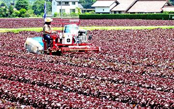 赤しその収穫の様子