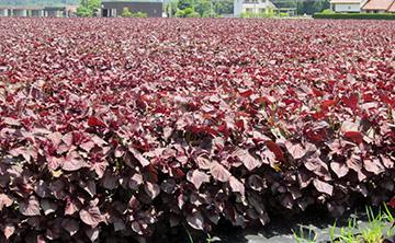 赤紫蘇色に広がる赤しそ畑