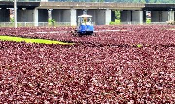収穫後に液肥を散布します