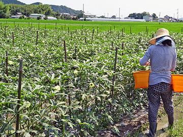 オクラの収穫作業