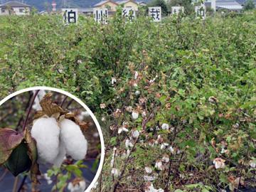収穫期を迎えた伯州綿