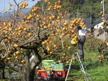 花御所柿を収穫する生産者
