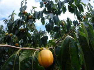 色付いた柿
