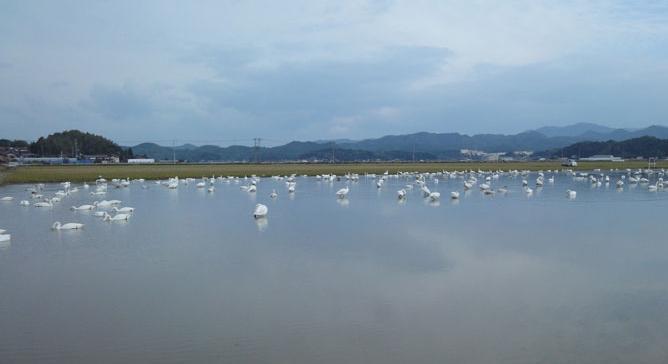 冬季湛水白鳥1