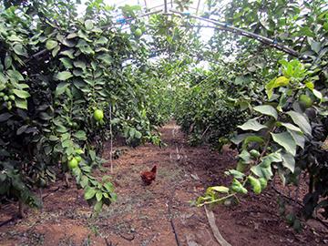 除草役の鶏とアーチ型栽培