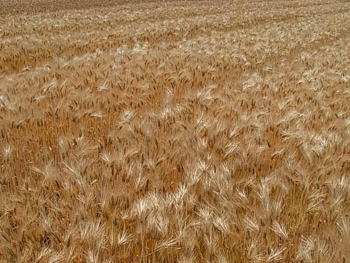 はだか麦のほ場