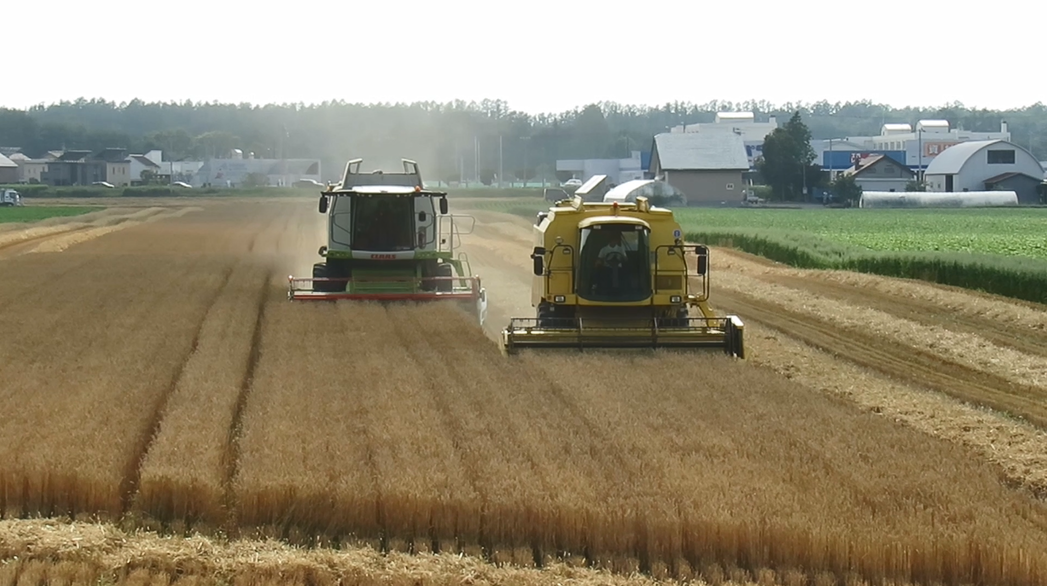 秋まき小麦の収穫