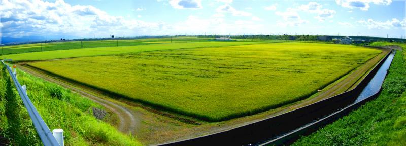 事業概要_用水路隣接ほ場の水稲写真(聖籠町)