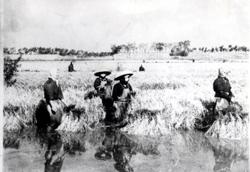 深田の稲刈り