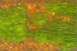トチカガミ科セキショウモ