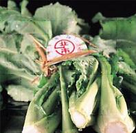 水菜 勝山 勝山水菜は「おひたしが一番」 福井県勝山市の伝統野菜
