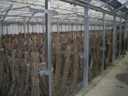 施設栽培の原木しいたけ
