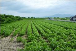 畑作物共済の被害写真(大豆)通常の生育状況