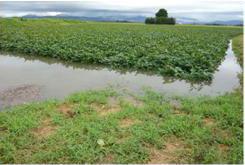 畑作物共済の被害写真(大豆)集中豪雨による風水害