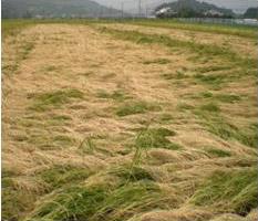 農作物共済の被害 稲の倒伏(風水害)